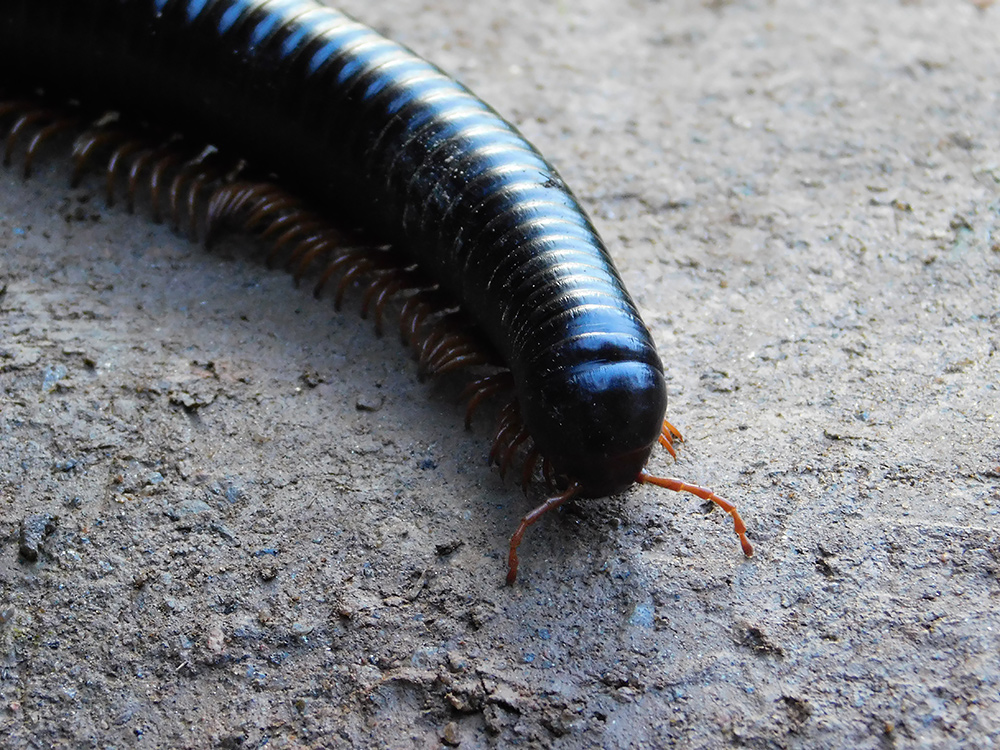 Giant Millipedes – Weird and Wonderful Pets