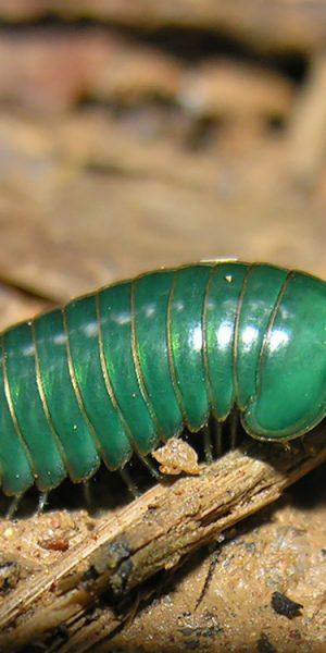 Pill millipedes