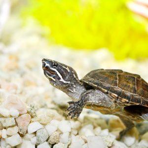 Musk turtle (Sternotherus odoratus)