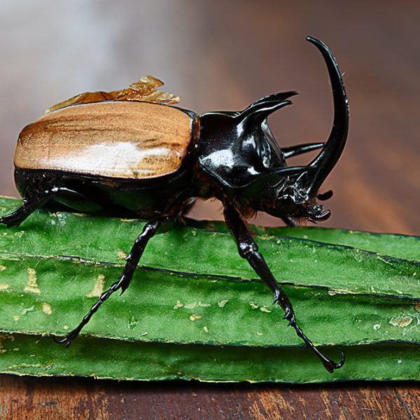 Eupatorus gracilicornis (five horned rhinoceros beetle)