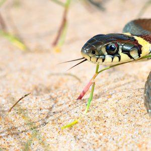 Natrix natrix (grass snake)
