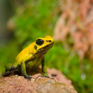 Phyllobates terribilis (Golden Poison Arrow Frog)
