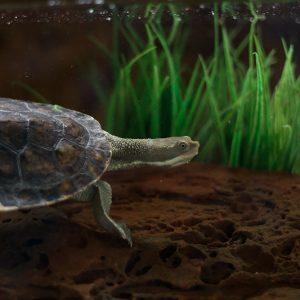 Australian eastern long neck turtle