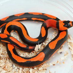 Honduran milk snake (Improprieties triangulum hondurensis)