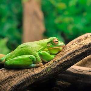 Litoria caerulea (Australian green tree frog)