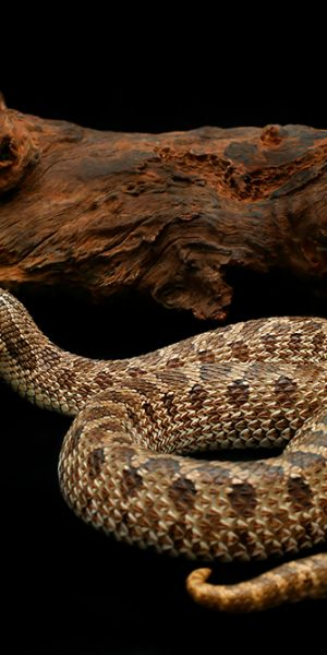 Heterodon nasicus (Western Hognose snake)