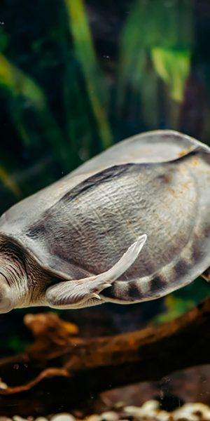 Carettochelys insculpta (pig-nosed turtle)