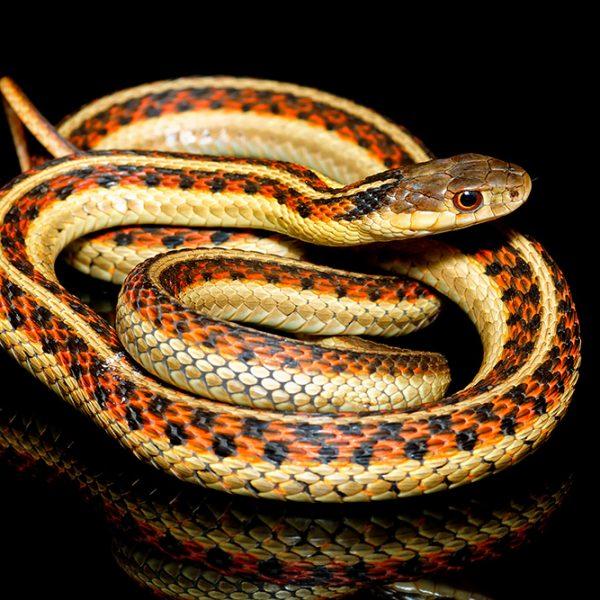 Thamnophis garter snake