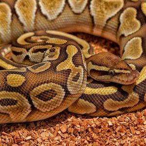 Python regius (royal, or ball python)