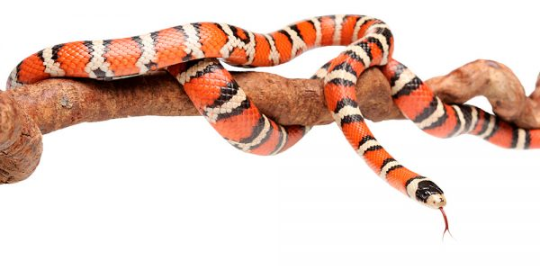Lampropeltis pyromelana (Arizona mountain king snake)
