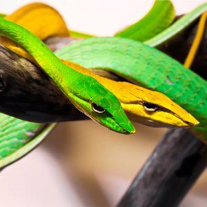 Oxybelis vine snakes