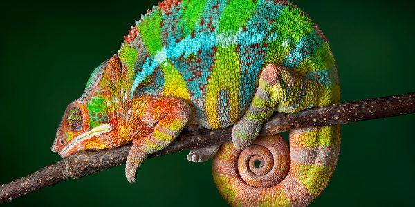 Ambilobe panther chameleon male