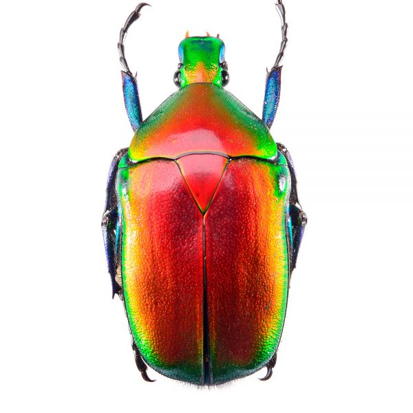 Jewellery beetle (Torynorrhina flammea)