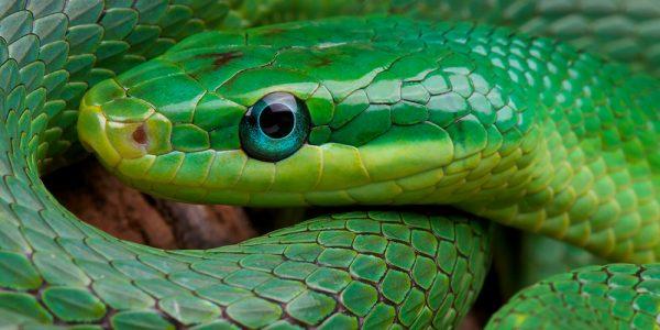 Emerald rat snake (Rhadinophis prasinum)