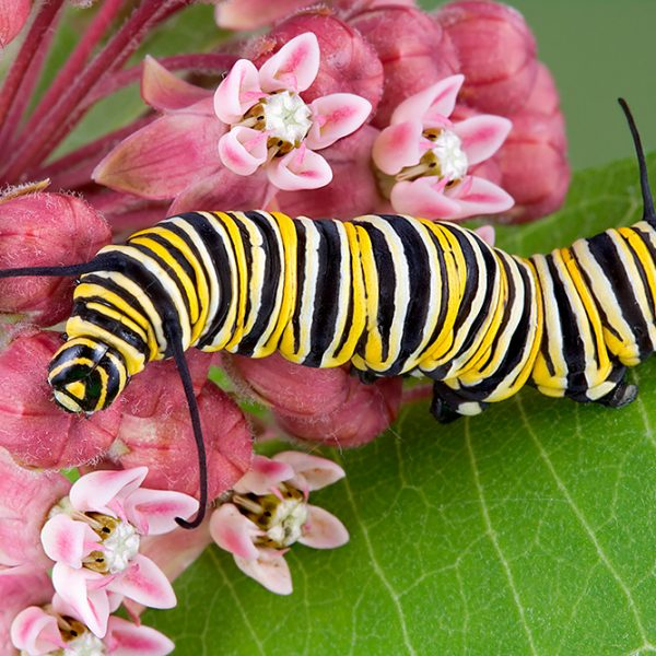 Adult monarch caterpillar