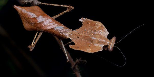 Dead leaf mantis (Deroplatys Dessicata)