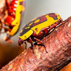 Sun beetle (Pachnoda aemula)