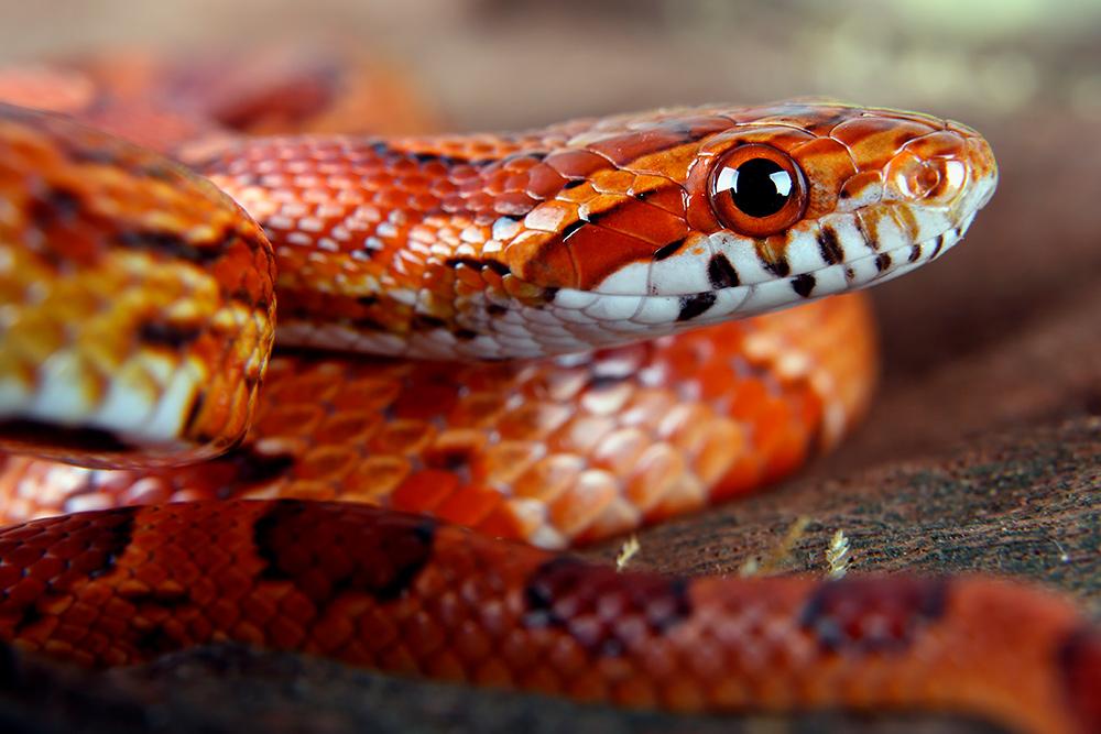 【ペット】蛇の飼い方:種類・寿命・値段 ...
