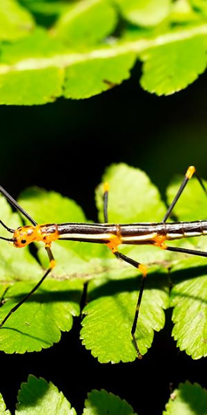 South American Phasmatodea
