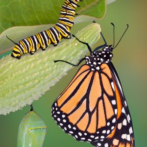 A monarch butterfly, caterpillar, and chrysalis