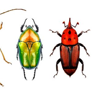 Flower long-horn beetle, flower chafer, red palm weevil and jewel beetle (metallic wood-boring beetle)