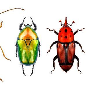 Flower long-horn beetle, flower chafer, red palm weevil and jewel beetle (metallic wood-boring beetle)