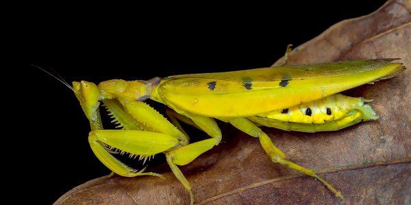 Female Parymenopus davidsoni