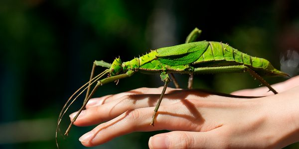 Heteropteryx dilatata, a Malaysian stick insect