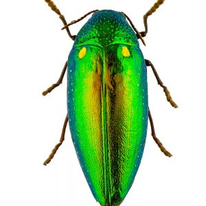 Jewel beetle (Buprestidae)