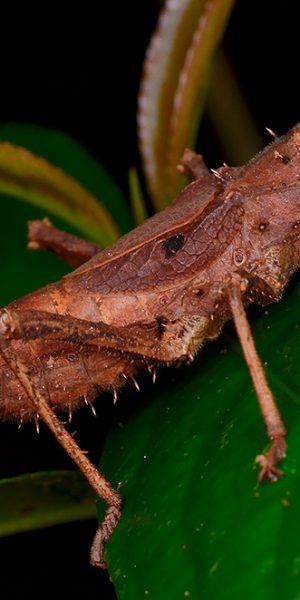 Borneo stick insect