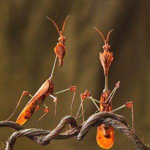 Violin mantis