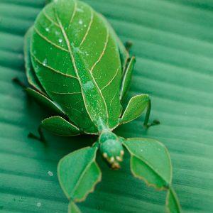 Phyllium Westwoodii