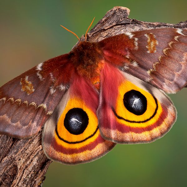 The Io moth, Automeris io
