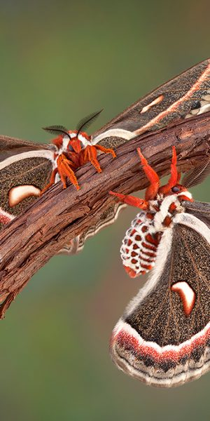 Two Cecropia moths
